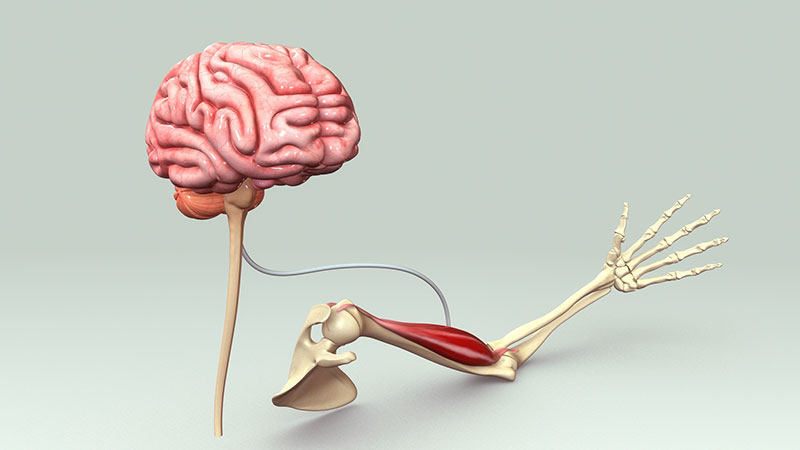 ارتباط ذهن - عضله